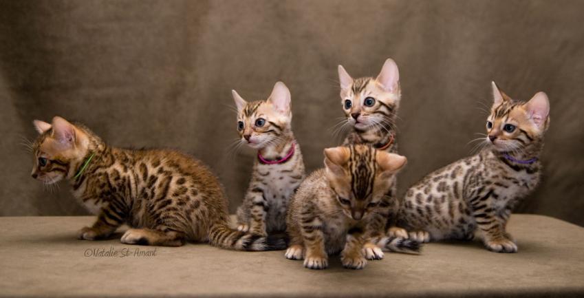 Chatons Saphira Cattery