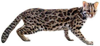 Asian Leopard Cat