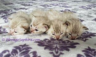 Chatons Bengal Seal Mink